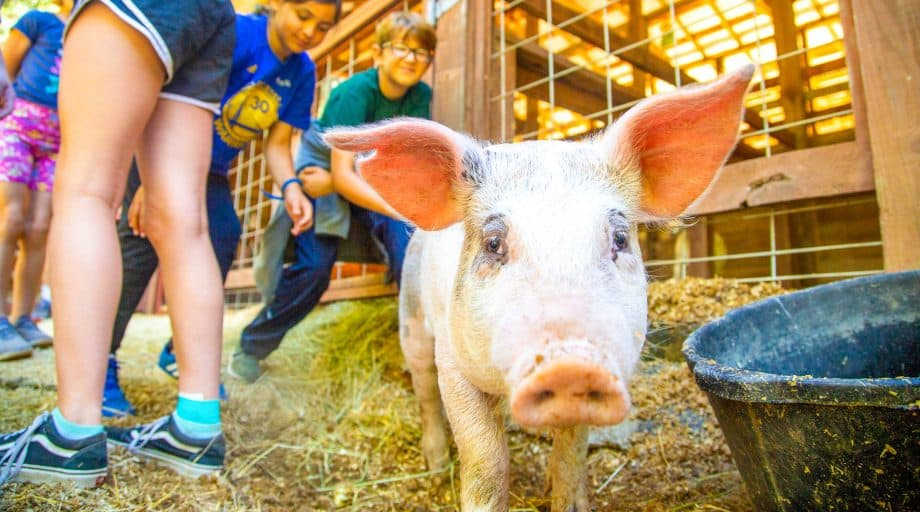Campers reach for pig at summer camp